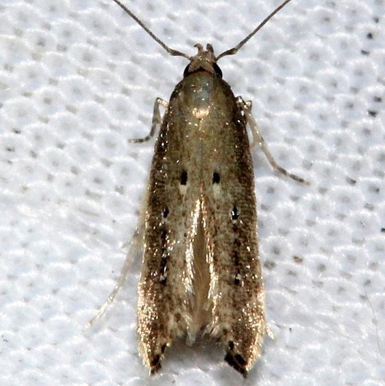 1632.97 Unidentified Perimede Moth Kissimmee Prairie St Pk 3-16-13