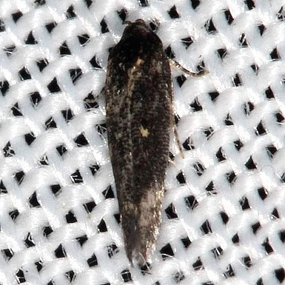 1632.97 Unidentified Perimede MothCollier Seminole St Pk 3-2-14