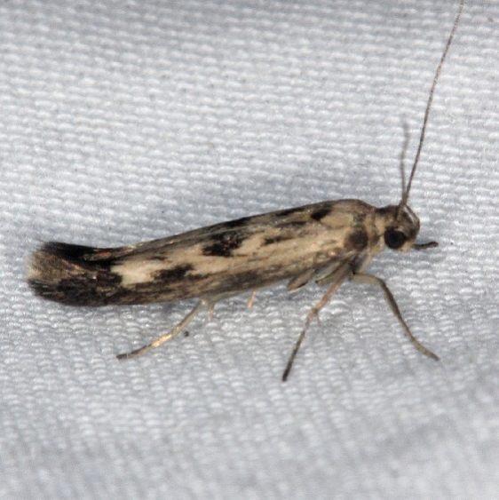 1673 Chenopodium Scythris Moth yard 7-21-14