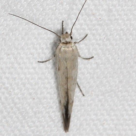 1680.99 Unidentified Scythridid Moth BG Colorado National Monument 6-17-17 (67)_opt