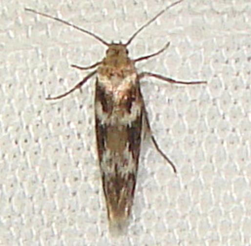 1680.99 Unidentified Scythridid Moth Rowdy Bend Trail Everglades 3-3-12