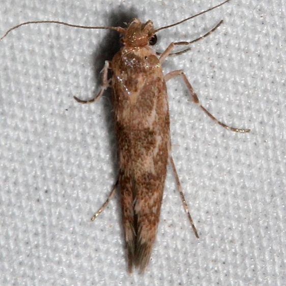 1680.99 Unidentified Sycthridid Moth BG Colorado National Monument 6-17-17 (40)_opt