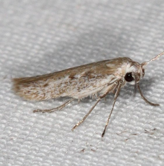 1680.99 Unidentified Sycthridid Moth maybe 1667 Arotrura oxyplecta BG Campsite 119 Falcon St Pk Texas 10-27-16_opt