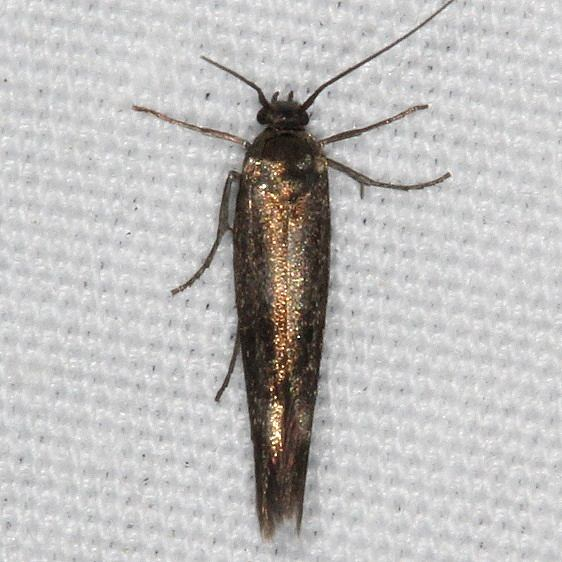 1680.99 Unidentified Sycthridid Moth yard 6-1-16 (29a)_opt