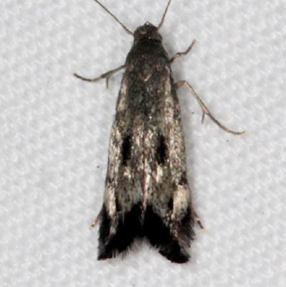 1132.97 BG Unidentified Elachista Moth Johathan Dickinson St Pk Fl 3-9-17 (1)_opt