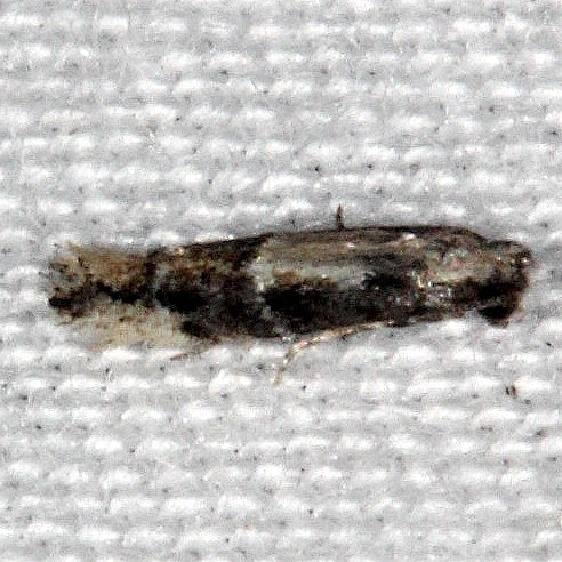 1132.97 Unidentified Elachista Moth Collier-Seminole St Pk 3-7-15