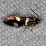 1132.97 Unidentified Elachista Moth Copperhead Firetower Shawnee St Forest 6-13-15