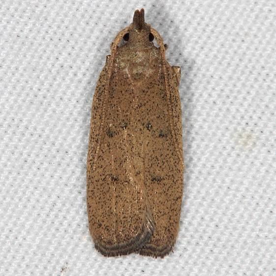 1136.1 Juniper Tip Moth Oscar Scherer St Pk 3-13-15