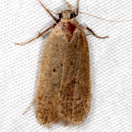 1141 Glyphidocera meyrickella tentative Mesa Verde National Pk Colorado 6-9-17 (12)_opt