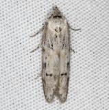 1154.97 Unidentified Blastobasis Moth Campsite 119 Falcon St Pk BG 10-22-16_opt