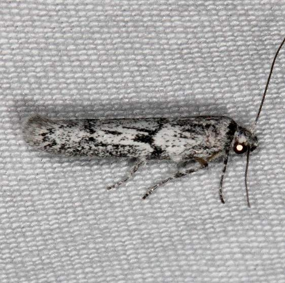 1156.97 Unidentified BG Hypatopa Moth Fool Hollow Lake St Pk Ariiz 5-23-17 (36)_opt