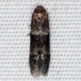 1253.98 Unidentified Blastobasinid Moth BG Collier-Seminole St Pk 3-6-15