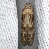 1253.97 Unidentified Blastobasine coleophorid NABA Gardens Texasa 11-3-13 (2)_opt