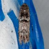 1253.98 Unidentified Blastobasinid Moth Hidden Lake Everglades 2-18-14