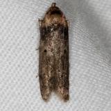 1253.97 Unidentified1 Blastobasinid Moth Collier Seminole St Pk 2-25-14_opt (2)