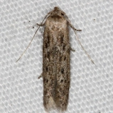 1253.98 Unidentified Blastobasinid Moth Lake Kissimmee St Pk 3-10-14