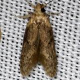 1253.98 Unidentified Blastobasine coleophorid NABA Gardens Texasa 11-3-13 (1)_opt