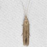 1309 Coleophora irroratella tentative yard 8-29-15