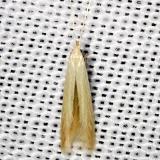 1378 Coleophora glaucicolella Shawnee St Pk Oh 6-15-13