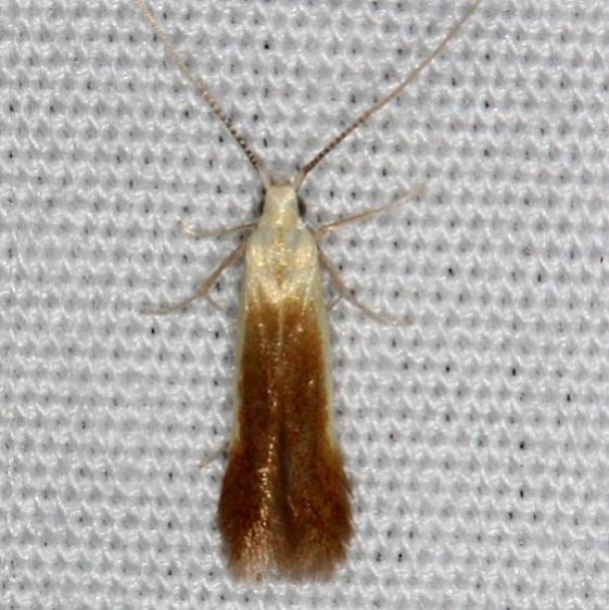 1398.97 Unidentified Coleophora Moth yard 5-30-14