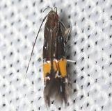 1472 Beautiful Cosmopterix Moth yard 7-25-12