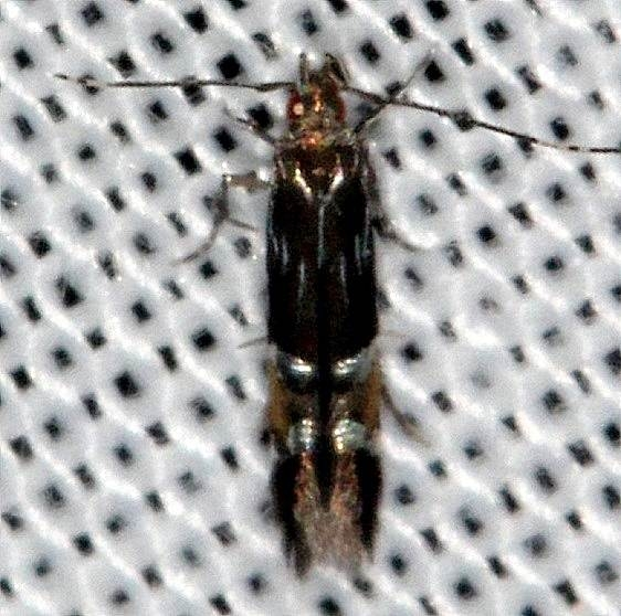 1498.97 Unidentified Cosmopterix Moth Tosohatchee WMA Fl 2-11-14