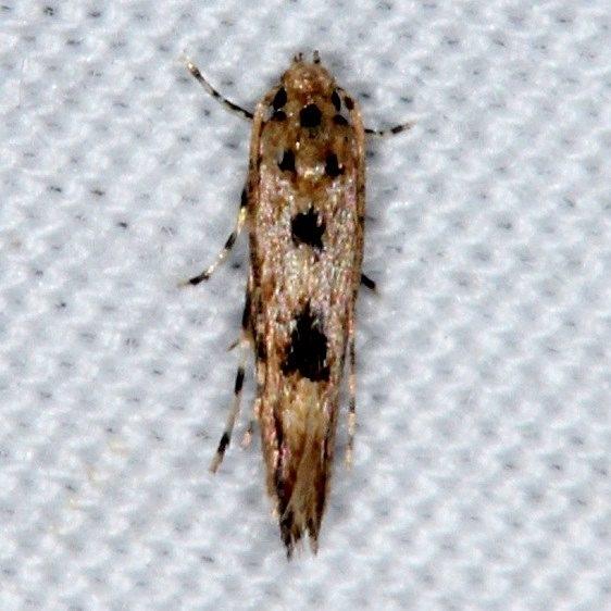 1507 Melanocinclis vibex Collier-Seminole St Pk 3-6-15