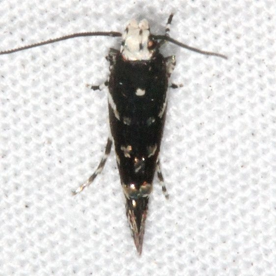 1508.96 Unidentified Spagmatophora Moth tentative BG Johathan Dickinson St Pk Fl 3-9-17 (9)_opt