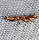 1512 Pink Scavenger Caterpillar Moth Moth Pine Glade Lake Everglades 2-21-14