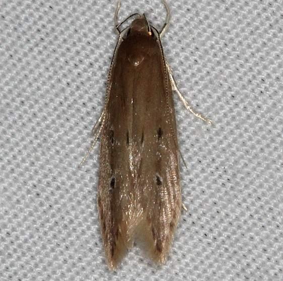 1515 Shy Cosmet Moth yard 6-7-14