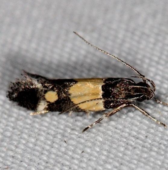 1527 Triclonella determinatella Campsite 119 Falcon St Pk Texas 10-27-16 (8)_opt