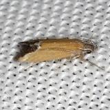 1528.96 Undescribed Triclonella Moth NABA Gardens Mission, Texas 11-4-13