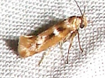 1678 Banded Scythris Moth Everglades Natl Pk Flamingo Campgrd area 3-22-11