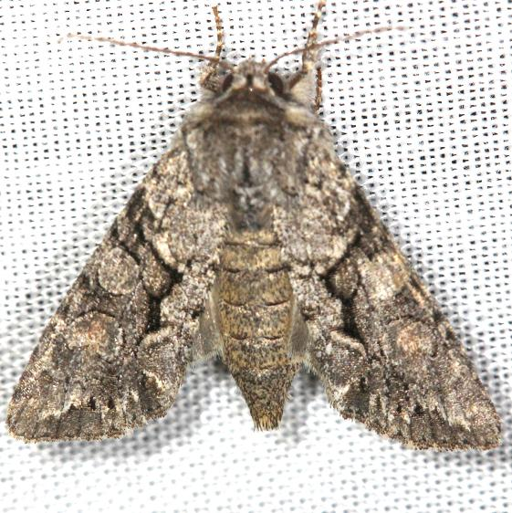 10299 Speckled Cutworm Moth Carter Cave St Pk 4-25-13