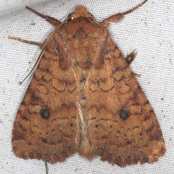 10532.1 Southern Scurfy Quaker Moth yard 8-30-17 (3)_opt