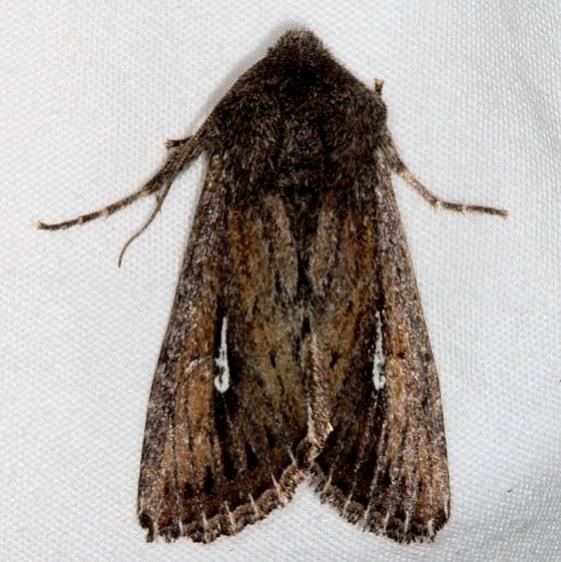 10261 Sideridis uscripta Pine Lake Dixie Natl Forest Utah 5-31-17 (1)_opt