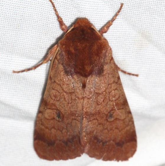 10265 Rosewing Moth Mesa Verde Colorado 6-11-17 (23)_opt