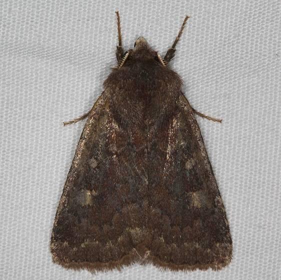 10266 German Cousin Moth yard 4-17-15