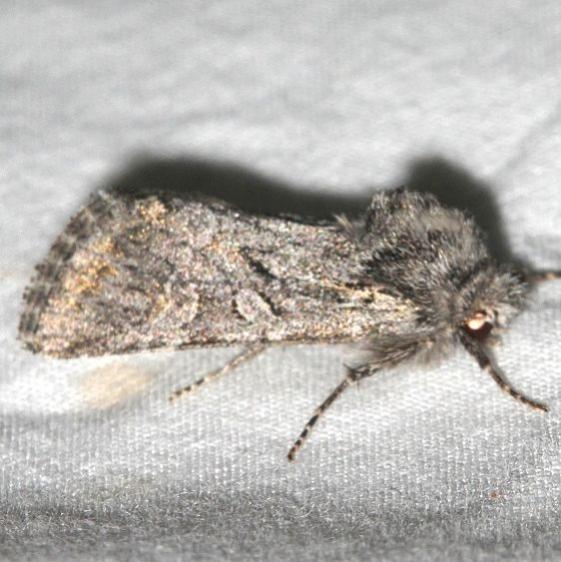 10277.1 Polia propodea Rocky Mountain Natl Pk Colorado 6-22-17 (53)_opt