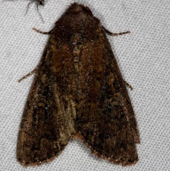 10289 Goodell's Arches Moth tenative Silver Lake Cypress Glenn Fla 3-18-15