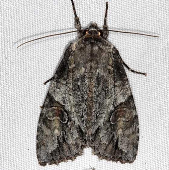 10291 Fluid Arches Moth yard 6-2-16 (3)_opt
