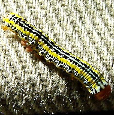 10293 Zebra Caterpillar on me in car 9-3-10