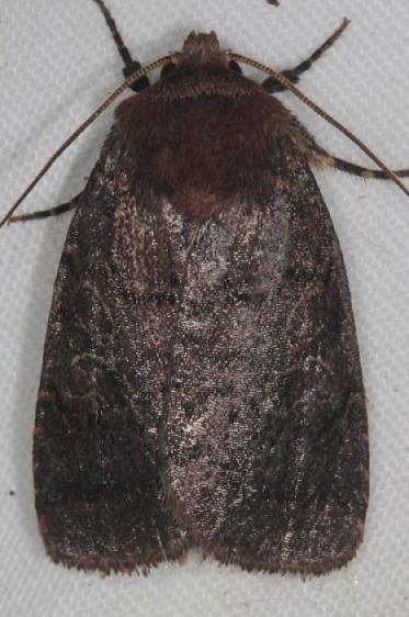 10295 Black Arches Moth yard 6-5-16 (1a)_opt