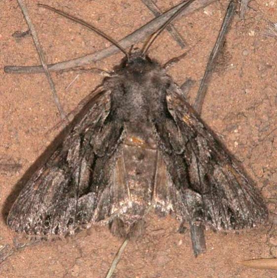 10296 Nevada Arches Moth Worn Pine Lake campground Dixie Natl Forest Utah 6-2-17 (48)_opt