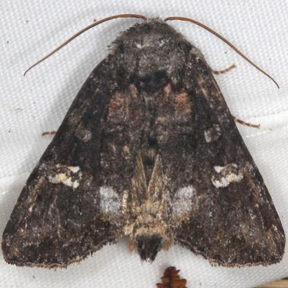 10301 Otter Spiramater Moth Thunder Lake UP Mich 6-24-15