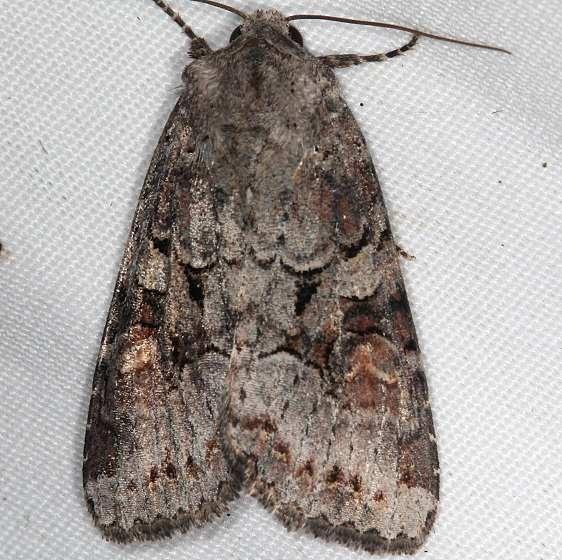 10304 Striped Garden Caterpillar Moth yard 8-25-16