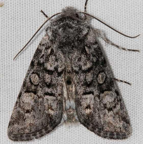 10317 Capsule Moth Mueller St Pk Colorado 6-18-17 (14)_opt