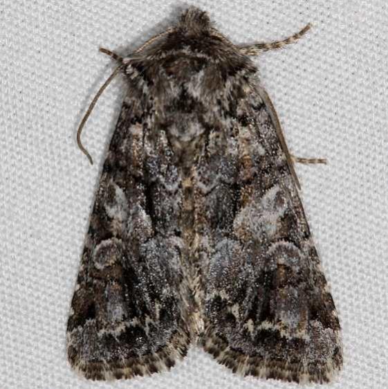 10324 Sutrina Moth Mesa Verde National Pk Colorado 6-9-17 (31)_opt