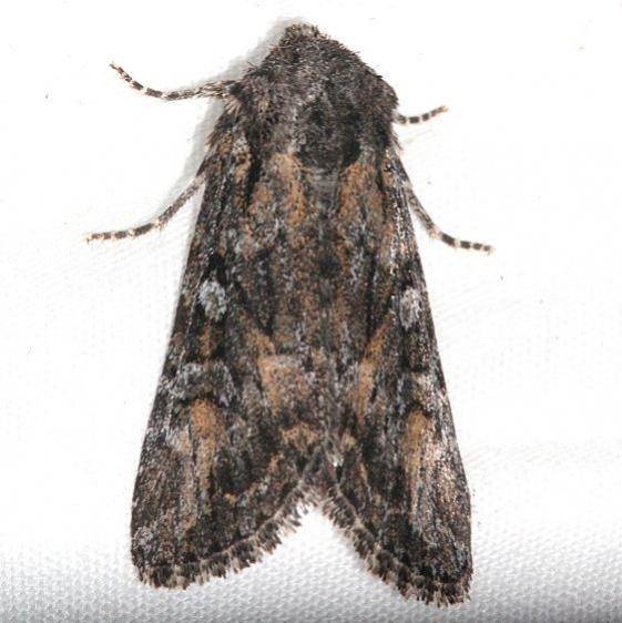 10358 Lasionycta subfuscula tentative Rocky Mtn Natl Pk Colorado 6-24-17 (38)_opt