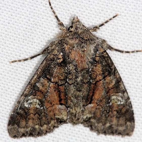 10368 Thinker Moth Thunder Lake 9-19-13